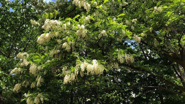 札幌の初夏の風物詩アカシアの白い花