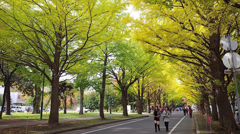 北大の銀杏並木は見ごろを迎えつつある