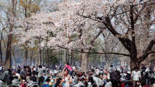 北海道最大の桜の名所!札幌のお花見は円山公園と北海道神宮がおすすめ